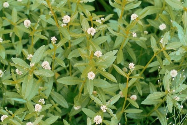 Flowering Alligator Weed