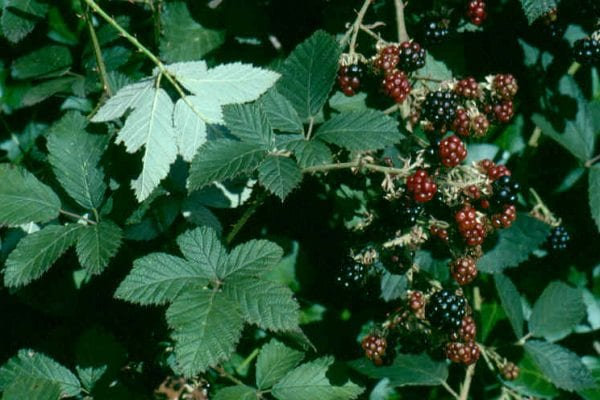 Blackberry leaves and fruit
