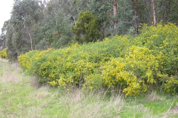 A Broom plant can grow to 3 m high.