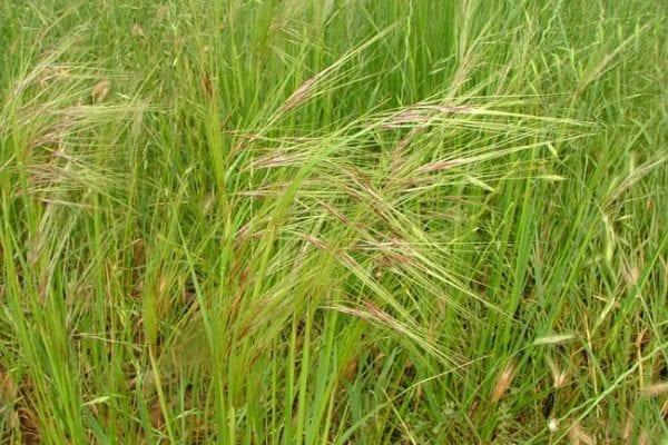 Chilean Needle Grass