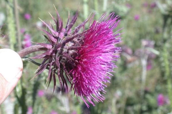 Nodding thistle flower
