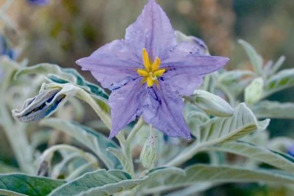 Silverleaf nightshade flower
