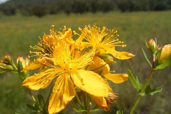 St John's wort has yellow flowers with five petals