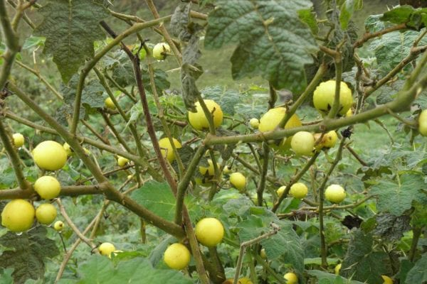 Tropical Soda Apple fruit