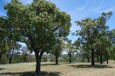 Kurrajong Trees
