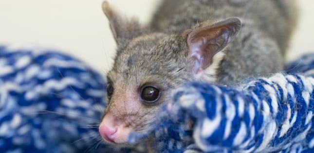 (Image: Possum credit: WIRES - www.wires.org.au)